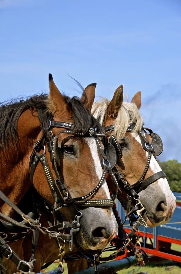 Team of work horses royalty free stock photos
