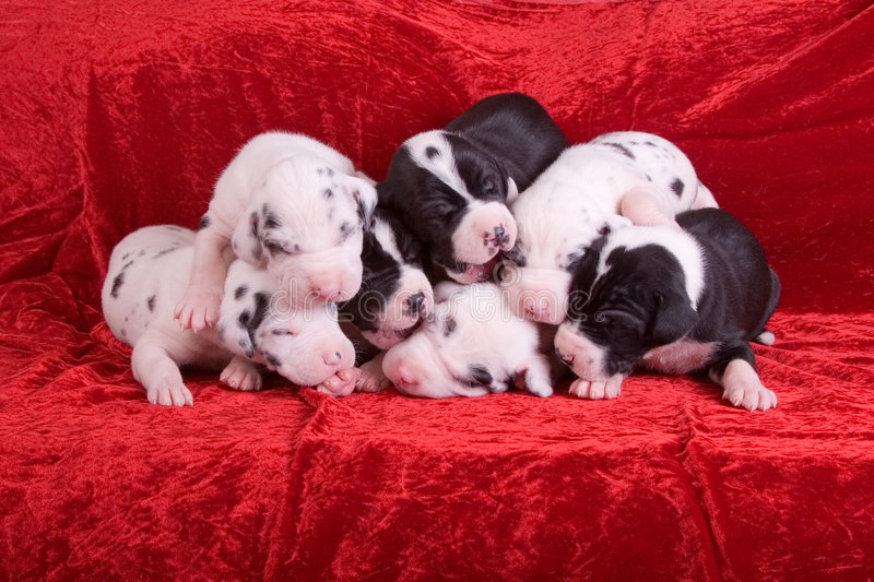 Teamwork. Assertive posed shot of seven 10 day old puppies in a dog pile stock photo