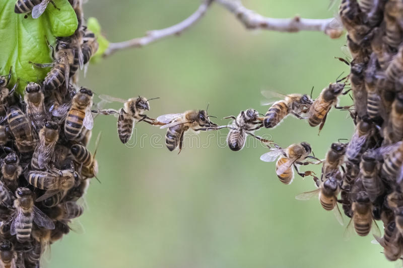 Teamwork of bees bridge a gap of two bee swarm parts. royalty free stock photo