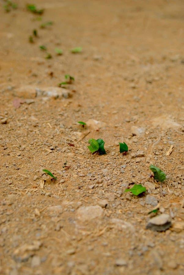 Teamwork - Blad-skärare myror som bär stycken av sidor arkivfoton