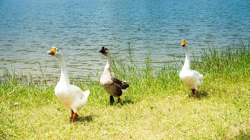 Teamwork concept. A flock of goose walking on the field. Goose family walking as row royalty free stock photos