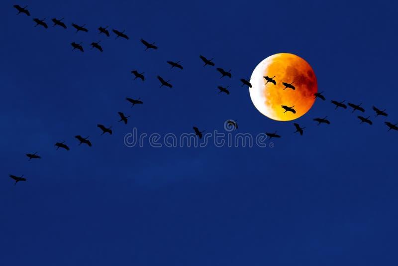 Cranes flying in front of blood moon, partial lunar eclipse, migration birds, teamwork of flying cranes. Migration cranes flying in team in dark blue evening sky