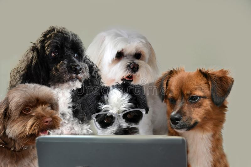 Teamwork skills, group of dogs surfing in internet. Team of dogs working at laptop or surfing in internet staring at the screen