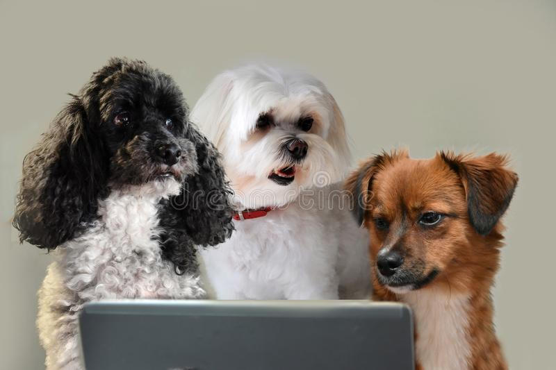 Teamwork skills, group of dogs surfing in internet. Team of dogs working at laptop or surfing in internet staring at the screen royalty free stock photography