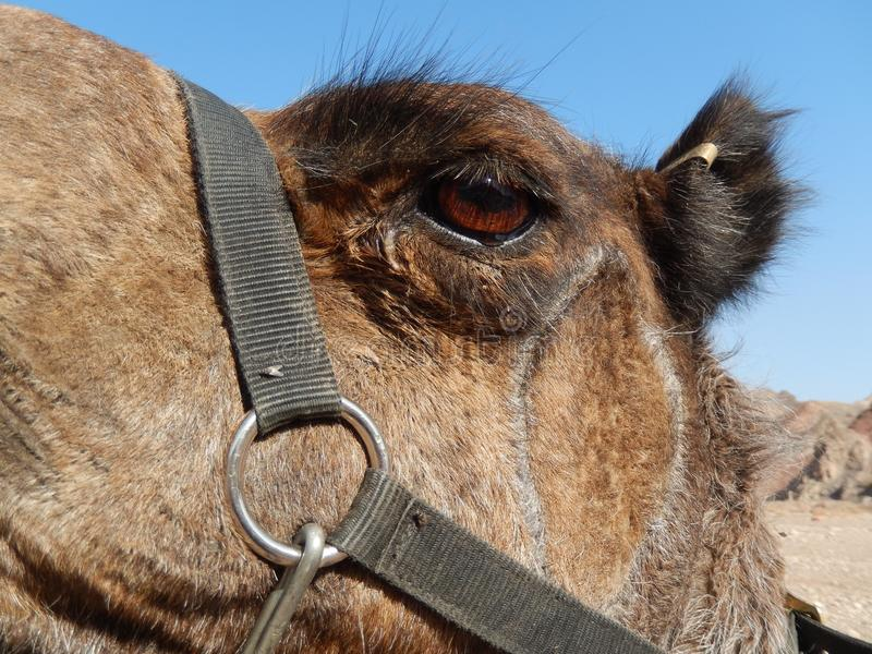 Tear in the camel`s brown eye royalty free stock image