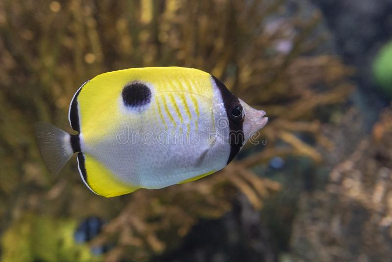 The teardrop butterflyfish Chaetodon unimaculatus - tropical coral fish. Close up stock photography
