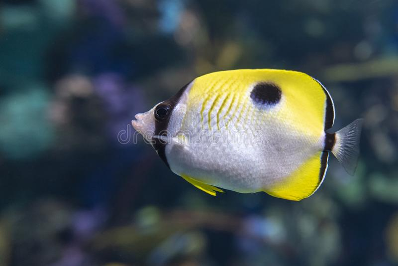 The teardrop butterflyfish Chaetodon unimaculatus - tropical coral fish. Close up royalty free stock photos