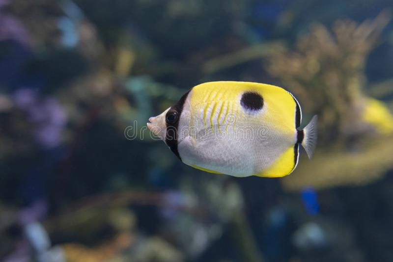 The teardrop butterflyfish Chaetodon unimaculatus - tropical coral fish. Close up stock image