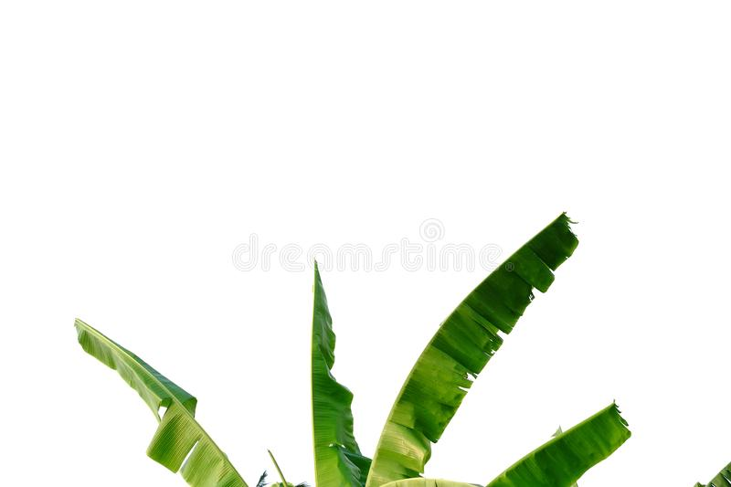 Tearing banana leaves on white isolated background for green foliage backdrop. Leaves white isolated background green foliage backdrop nature leaf curve frond stock image