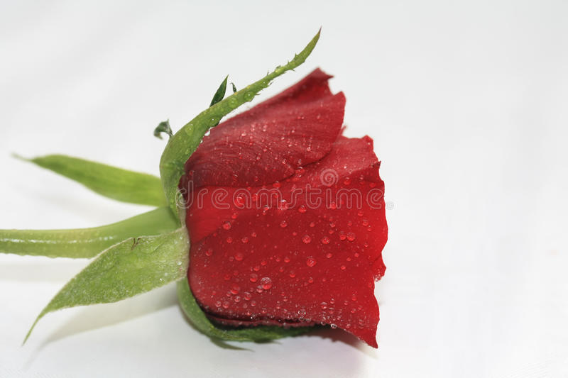 tears on a rose royalty free stock photography