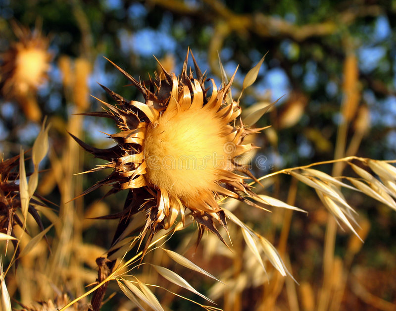 Download Teasel stock image. Image of farm, agriculture, flower - 157223