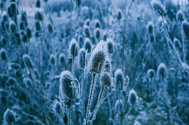 Download Teasel Fortfarande Med Några Färgade Blommor För Nätt Lila Arkivfoto - Bild av prickly, blomma: 78726342