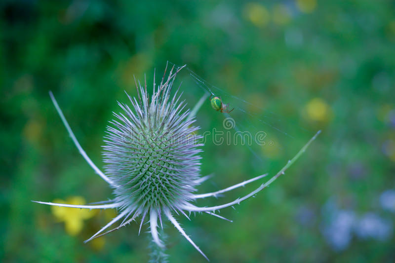 Teasel plant. A picture of a Green Orb spider spinning its web across a Teasel flower stock photography