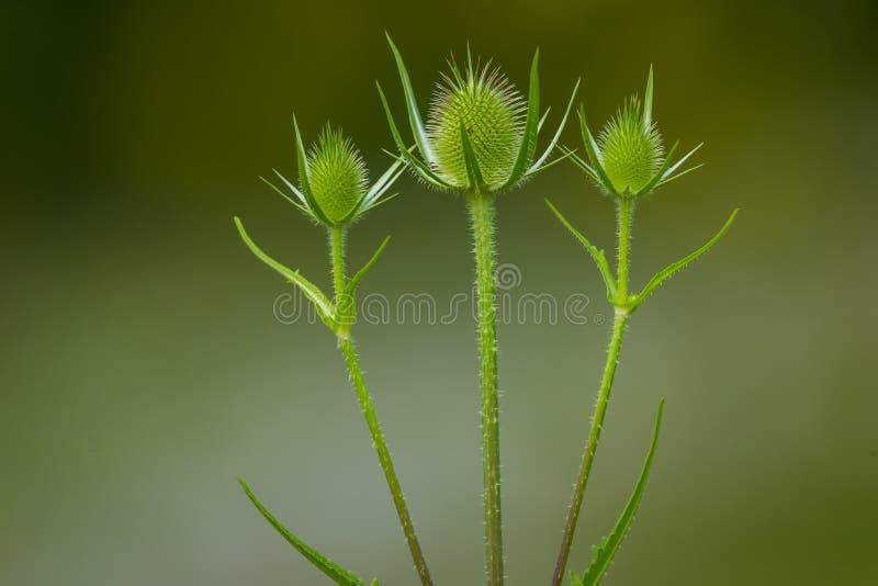 Teasel przewodzi właśnie wokoło kwitnąć Trzy zielonego teasels z zamazanym zielonym tłem zdjęcie royalty free