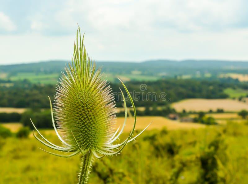 Teasel roślina zdjęcia stock