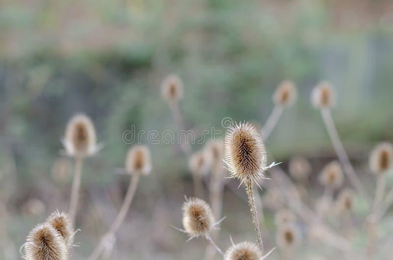 Teasels podczas zimy fotografia stock