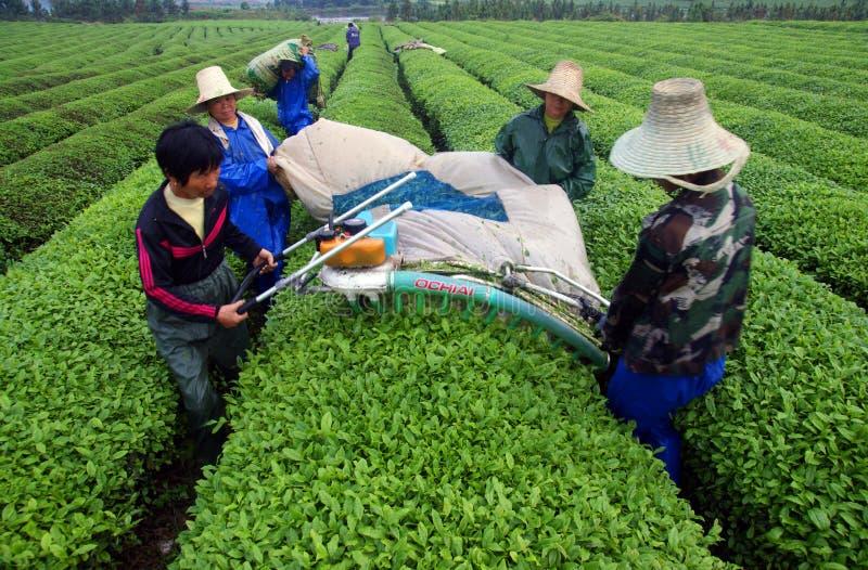 Tebönder som väljer teblad arkivbilder
