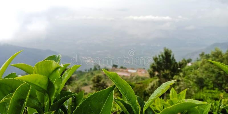 Teblad på en kulleöverkant, coonoor, Indien södra Indien arkivfoton