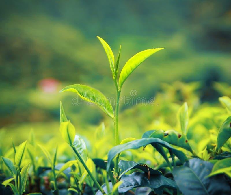 Teblad som växer på kolonicloseupen royaltyfri fotografi