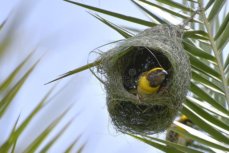Tecelão de Baya - rei de pássaros buiding do ninho foto de stock royalty free