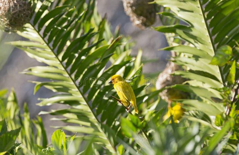 Tecelão dourado oriental, Zanzibar, Tanzânia imagem de stock
