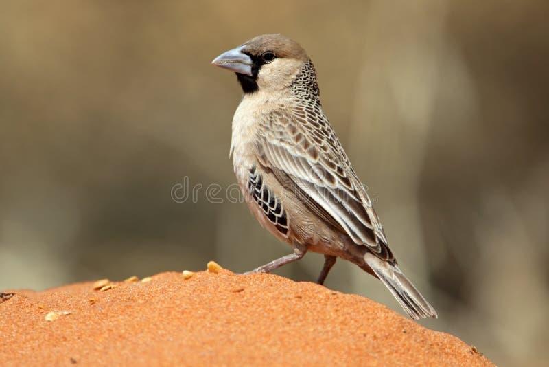 Tecelão Sociable na areia vermelha do deserto de Kalahari imagens de stock