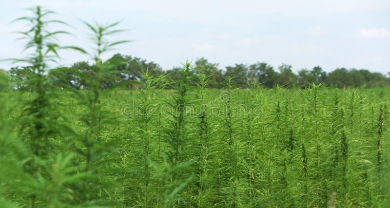 Techniczny marihuany pole w Austria zdjęcia stock