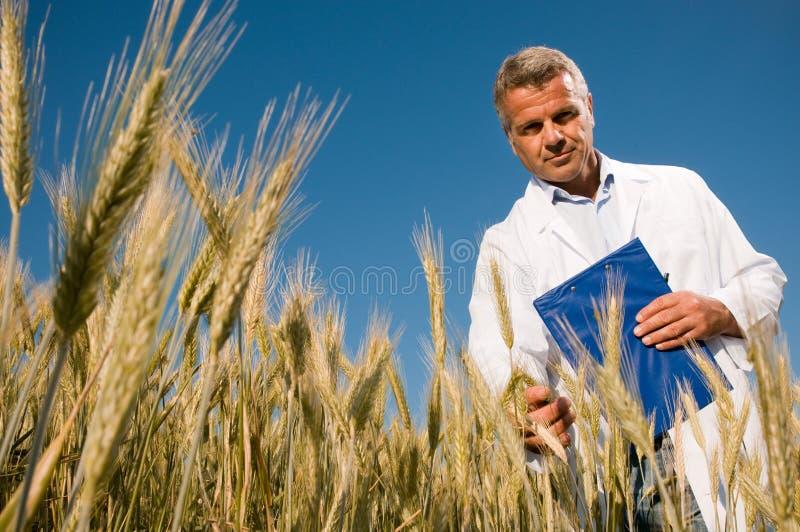 Techniker, der das Wachstum des Weizenfeldes überprüft stockfoto