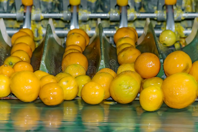 Technological process at the orange cannery or plant. Automatic fruit sorting royalty free stock photography
