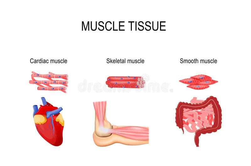 Tecido do músculo ilustração royalty free