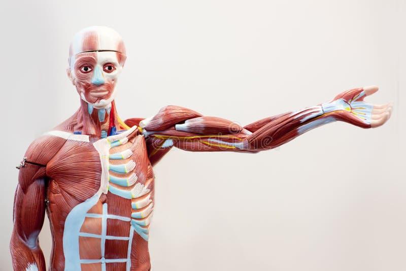 Tecido do músculo do corpo do manequim foto de stock royalty free