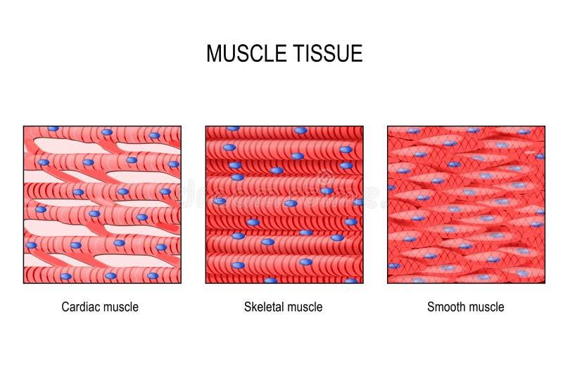 Tecido do músculo: Esqueletal, liso e cardíaco ilustração royalty free