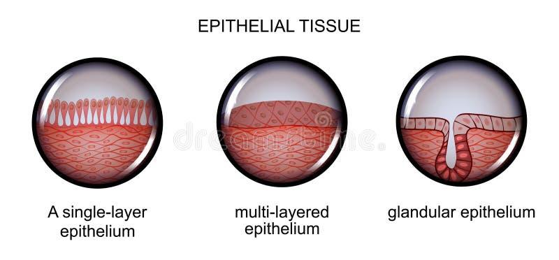 Tecido epitelial Tipos de epitélio ilustração do vetor