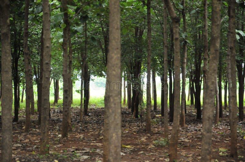 Teck d'arbre photographie stock libre de droits