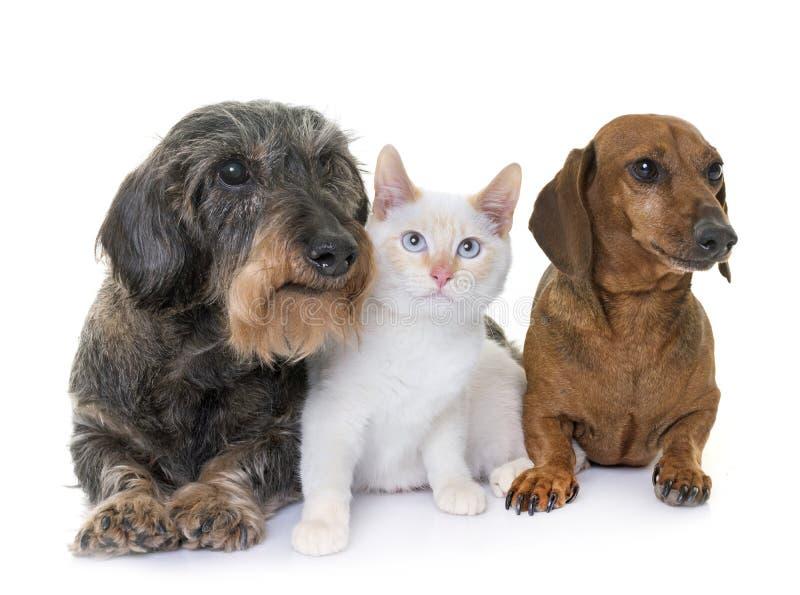 teckel et chaton image stock