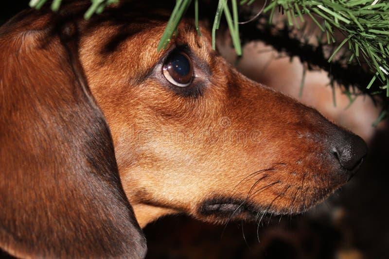 Teckel rouge de nain de chien sous la branche d'arbre images libres de droits
