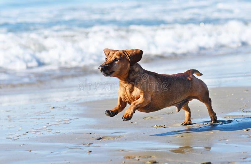 Teckel sur la plage images libres de droits