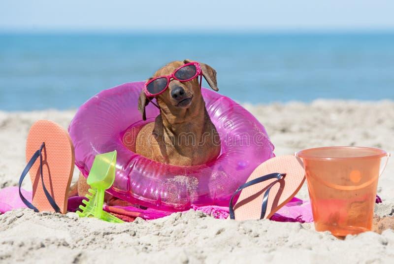 Teckel sur la plage photos libres de droits