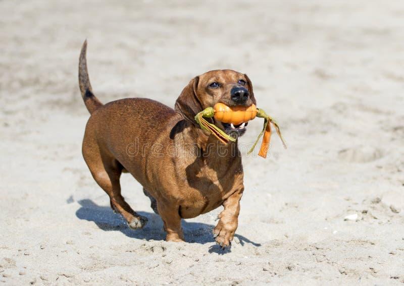Teckel sur la plage image stock