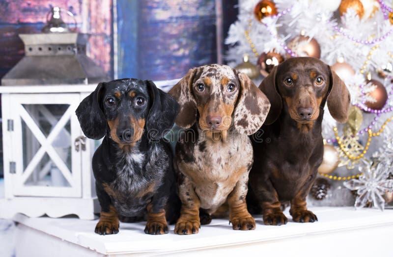 Teckel trois de chien photo libre de droits