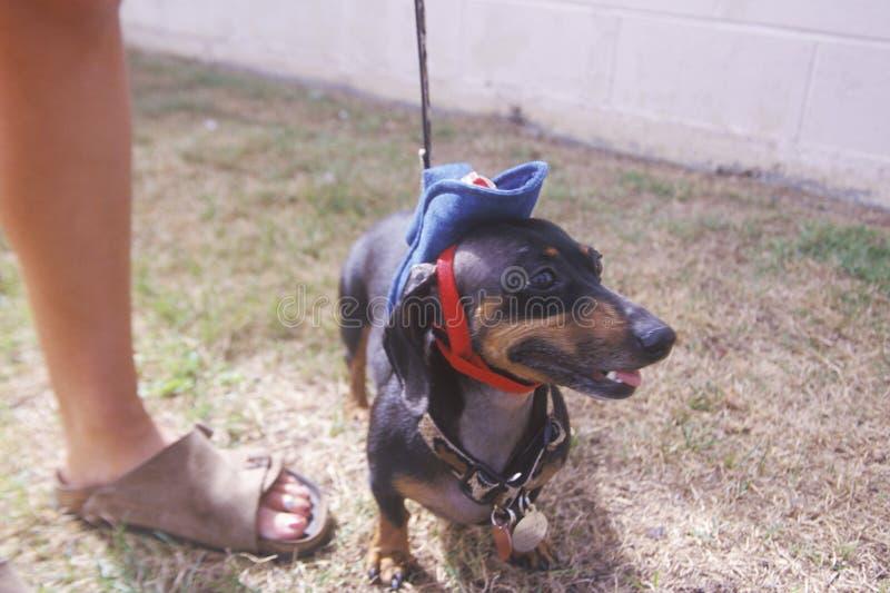 Teckel utilisant un chapeau de cowboy minuscule chez Doo Dah Parade, Pasadena, la Californie image stock