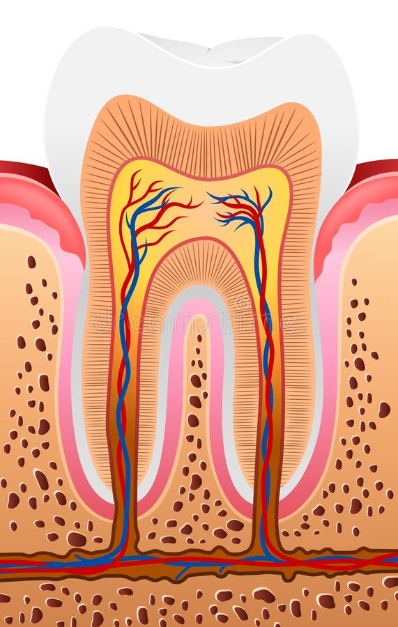 Tecknad filmillustration av mänsklig tandanatomi royaltyfri illustrationer