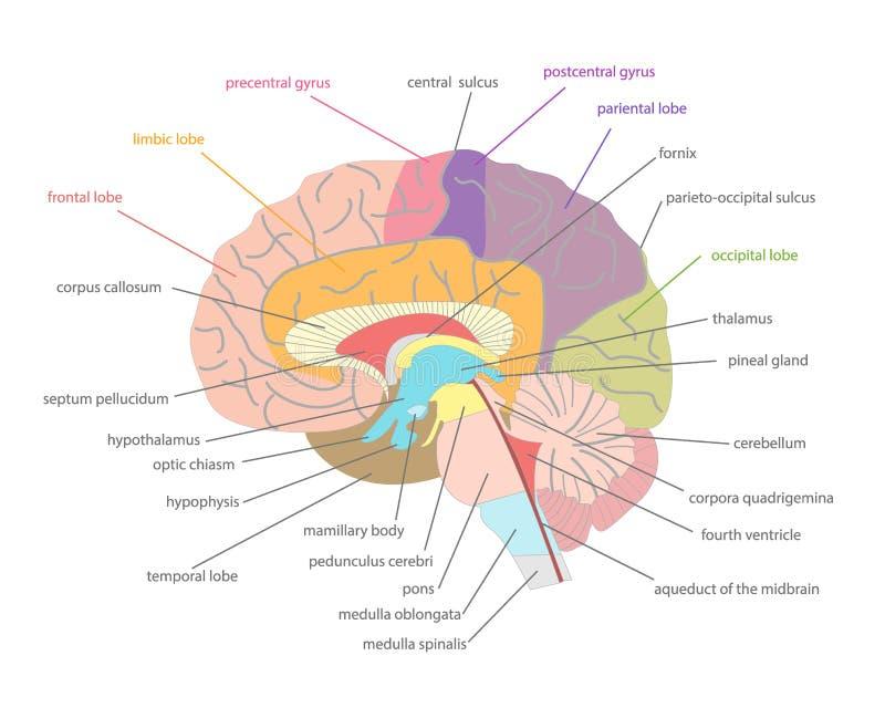 Tecknad filmmänniska Brain Anatomy i ett snitt vektor vektor illustrationer