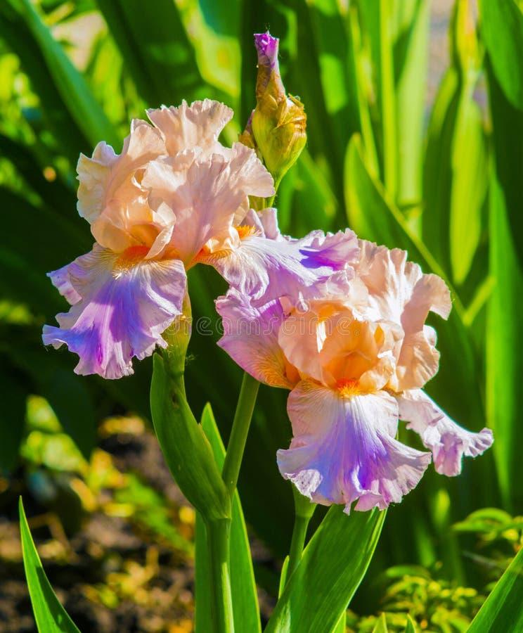 tecknad iris för blommahandillustration Den purpurfärgade irins i trädgård, blått och lilor färgade iri arkivfoton