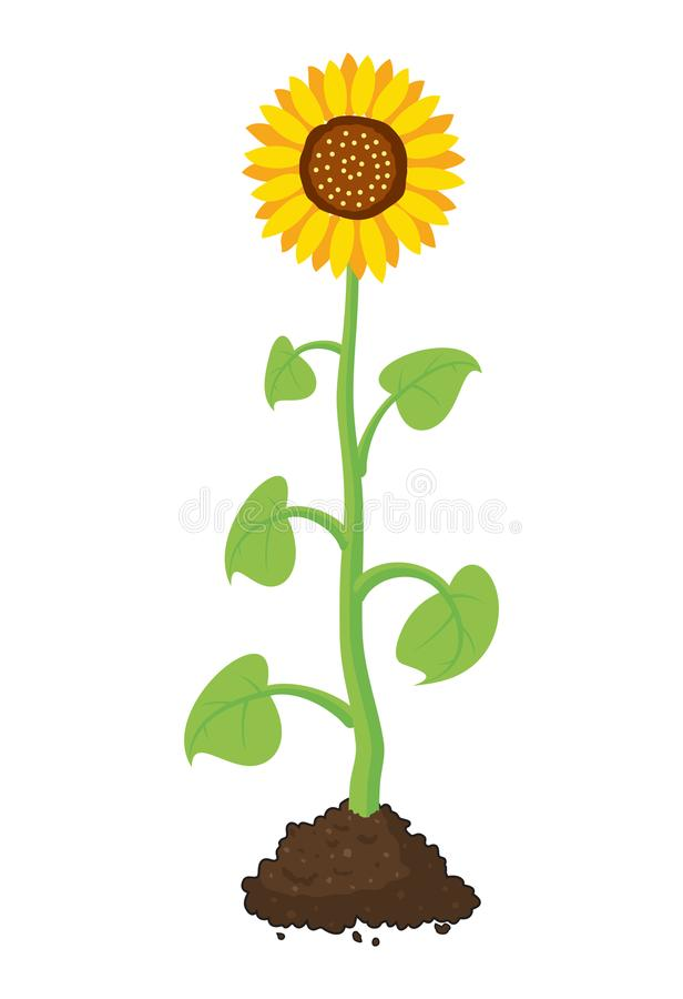 tecknade filmen av den trädgårds- solrosen växer i jord stock illustrationer