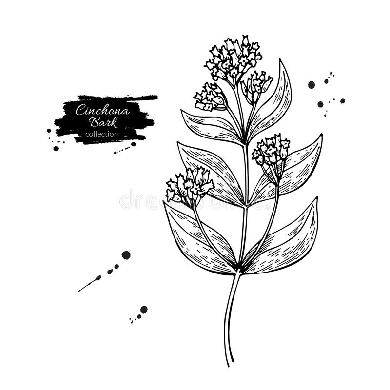 Teckning för Cinchonakininvektor Isolerade medicinska blomma och sidor Växt- inristad stilillustration vektor illustrationer