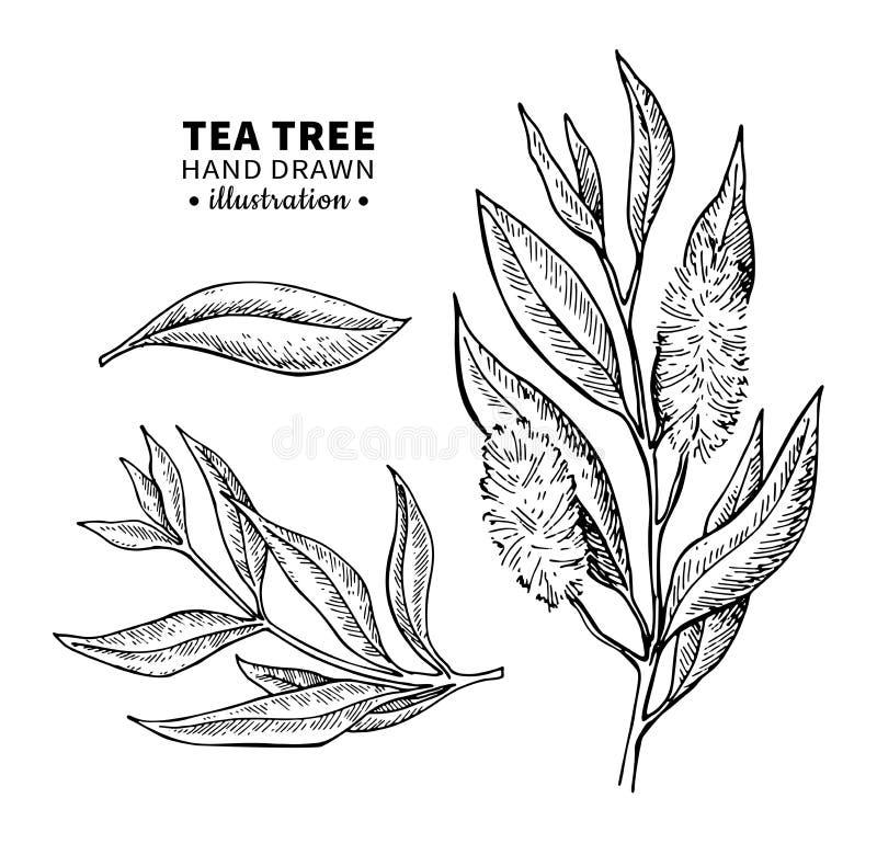 Teckning för teträdvektor Isolerad tappningillustration av medicinska växtsidor på filial royaltyfri illustrationer