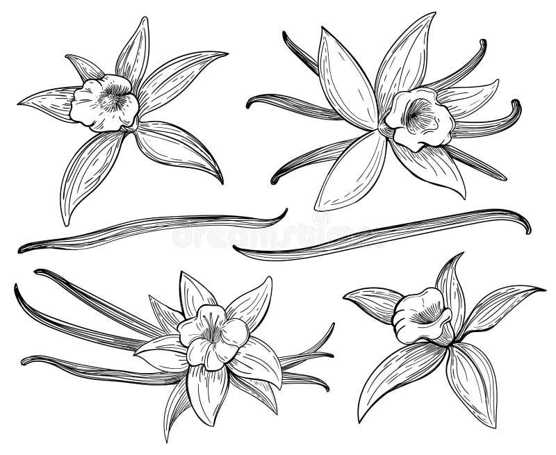 Teckningen för vaniljfröskida- eller pinnehanden skissar isolerat på vit bakgrund Vaniljer klottrar den kryddiga örtvektorillustr royaltyfri illustrationer