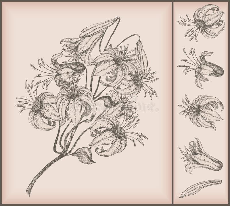 teckningsliljatiger stock illustrationer