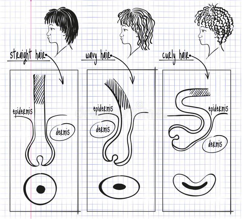 Teckningstyper av mänskligt hår stock illustrationer